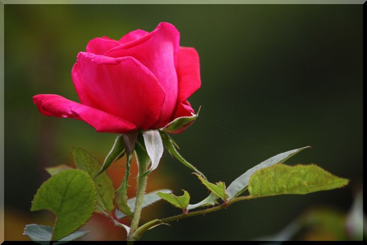 ~ 畜産センター薔薇2