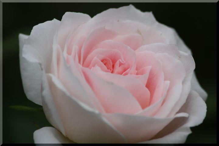 ~ 畜産センター薔薇3