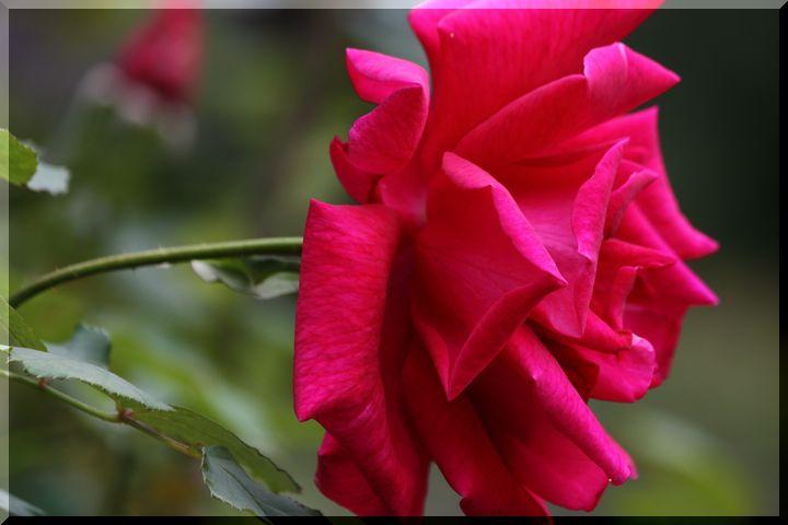 ~ 畜産センター薔薇4