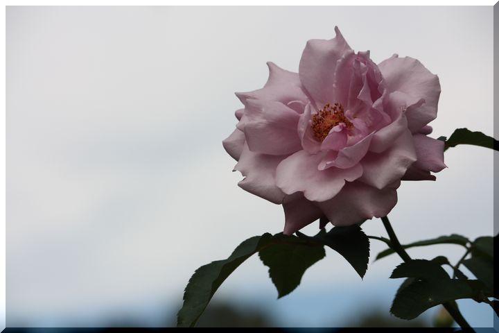 ~ 畜産センター薔薇6