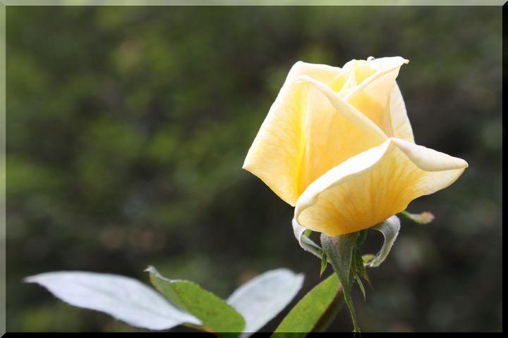 ~ 畜産センター薔薇7