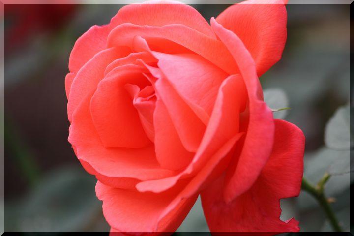 ~ 畜産センター薔薇8
