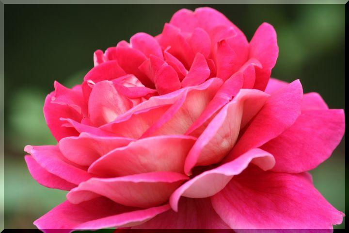 ~ 畜産センター薔薇10