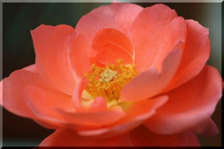 ~ 畜産センター薔薇11