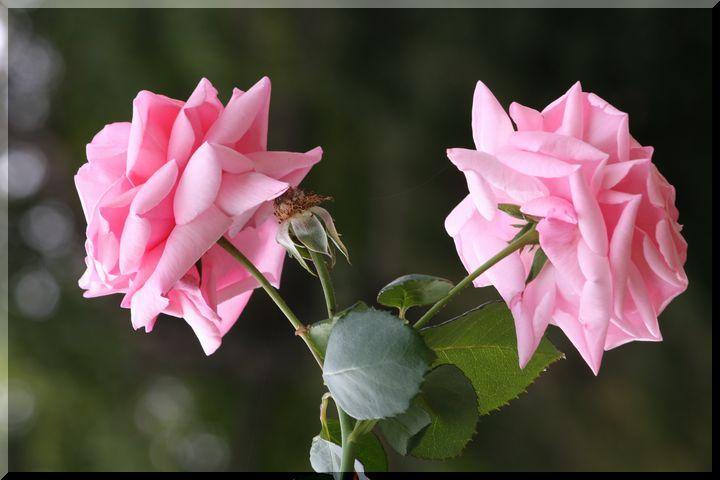 ~ 畜産センター薔薇12