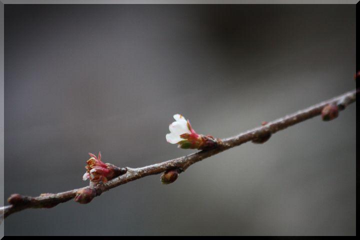 ~ 四季桜1