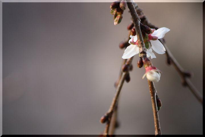 ~ 四季桜3