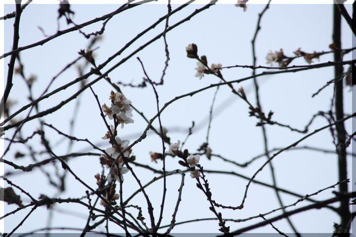 ~ 四季桜4