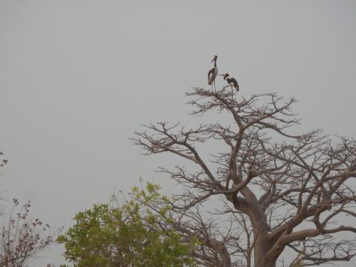セネガルから来た渡り鳥さん。