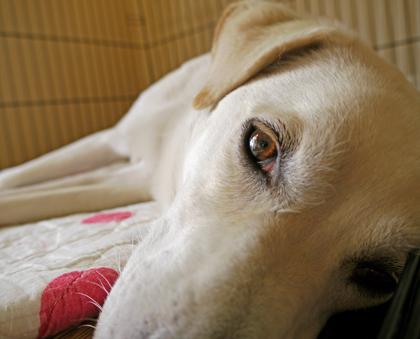 見つめる犬2
