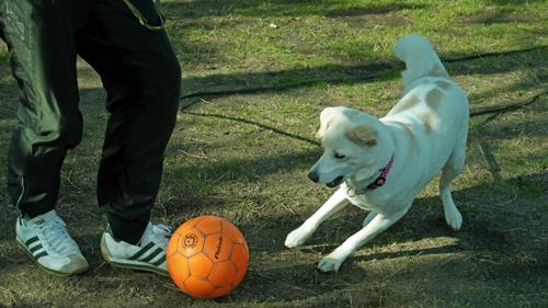 サッカーする犬