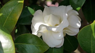 白い椿が咲いて