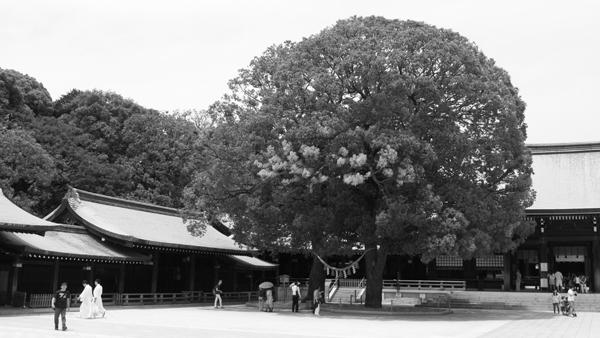 ご神木の楠