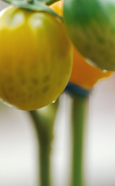 黄色いトマト2