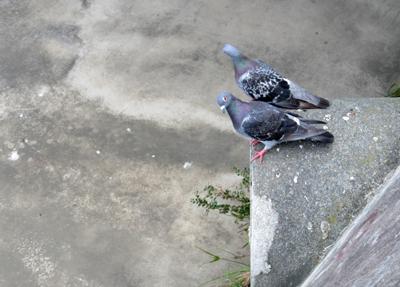 2羽のハト