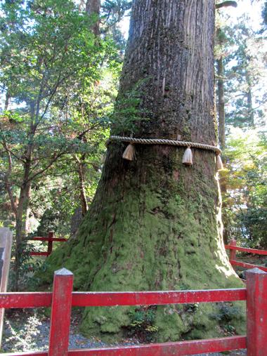 樹齢200年の杉