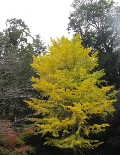 鎌倉の銀杏の木