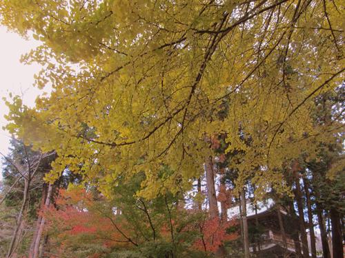 めすの銀杏の木