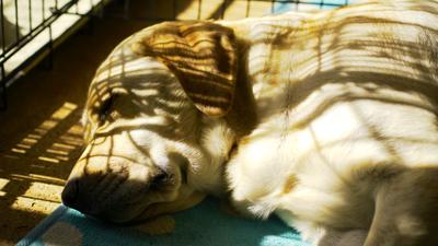 お昼寝中の犬。
