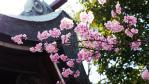 初めまして。桜2