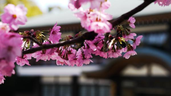 初めまして。桜