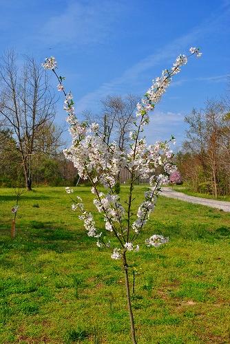しょぼい桜
