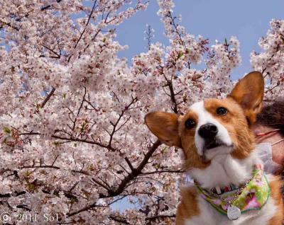 青空の下の満開の桜。どう、ぼくの桜のバンダナとも似合うでしょ!