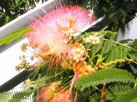 reS.1ネムの木の花