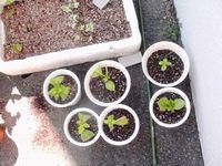 reS.紫陽花の挿し木