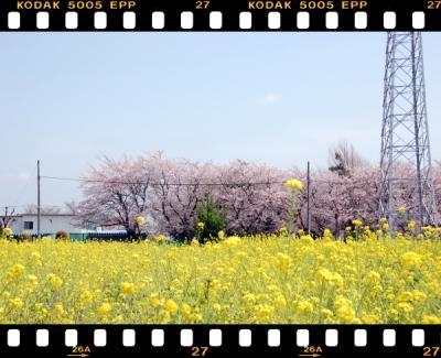 20100406-桜と菜の花