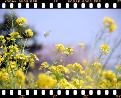 20100406-菜の花