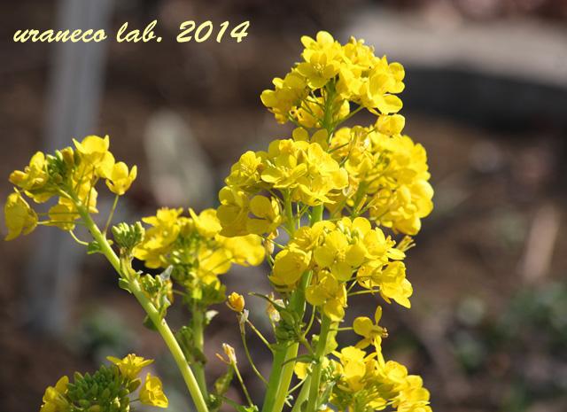 1月28日菜の花2