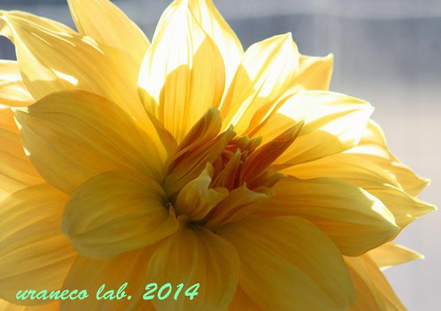 1月28日巨大ダリア黄色2