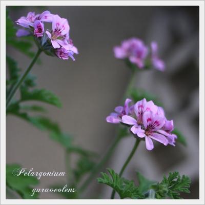 Pelargonium guraveolens