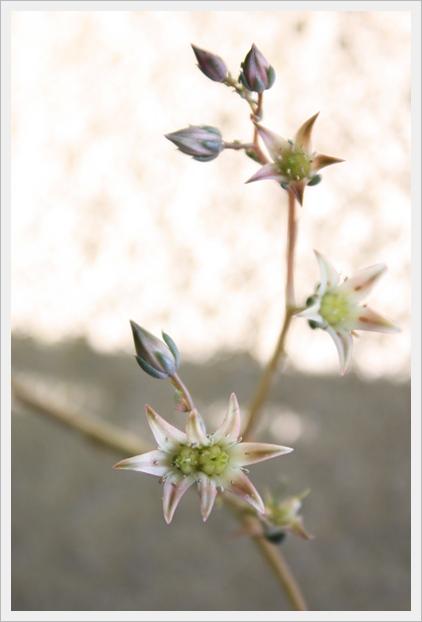シルバースターのお花