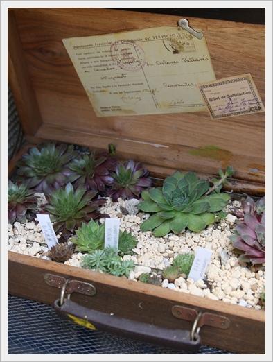 Sempervivum Garden