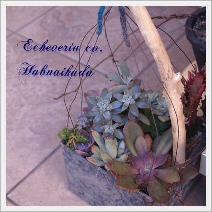 Echeveria cv