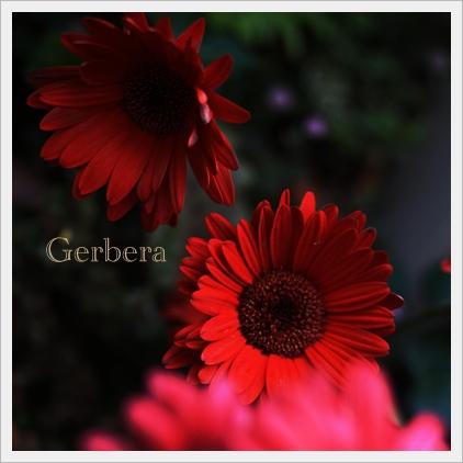 Gerbera.jpg