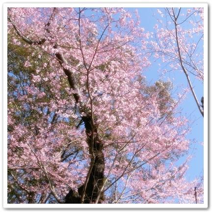早咲きの桜発見