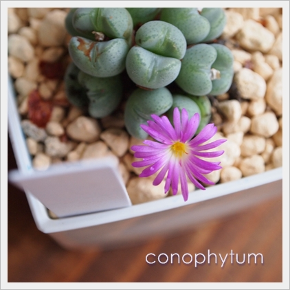 conophytum.jpg