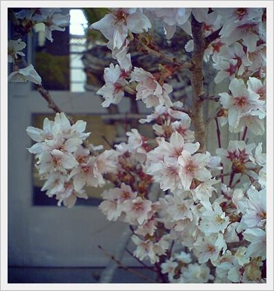 そろそろ桜の季節