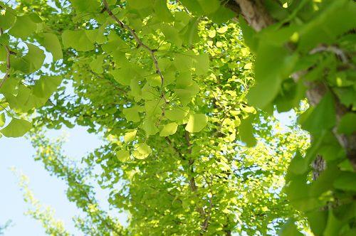 中学校のイチョウの木。