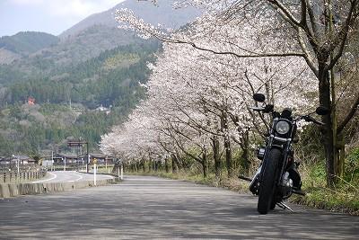 s-12:36津和野桜
