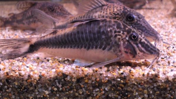 セミアキルスV(雌)