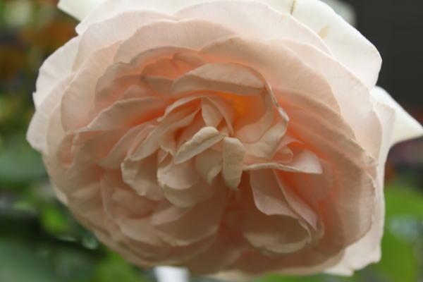 rose&gardening03