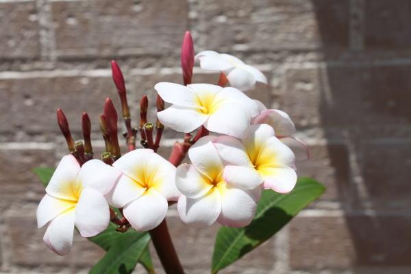 plumelia
