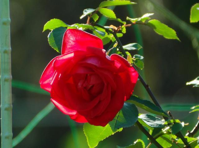 薔薇:クリックして大きな画像で御覧下さい
