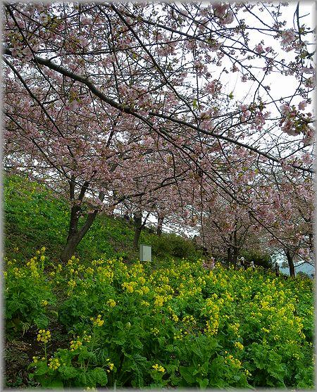 2011.2.20 桜2