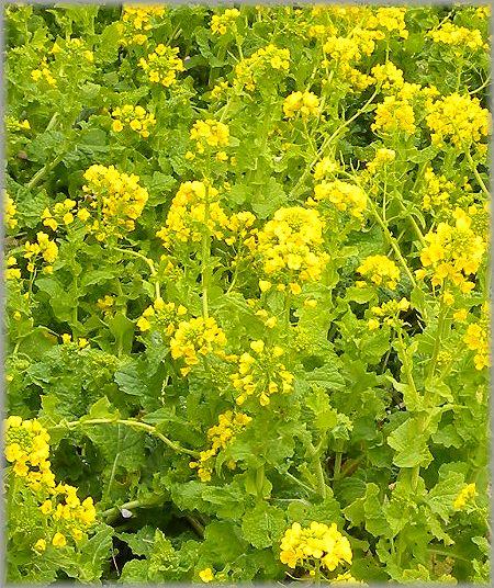 2011.2.20 菜の花1