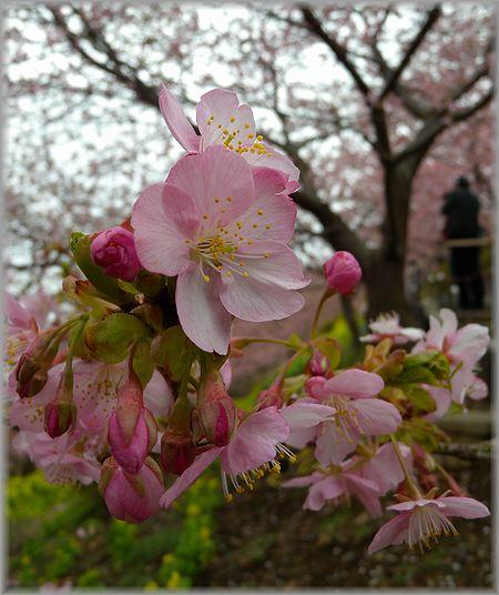 2011.2.20 桜